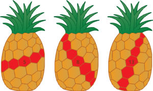 Fibonacci numbers in pineapples.